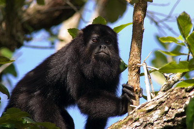 Howler Monkey, Lamanai, Orange Walk, Belize.