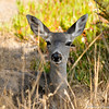A Black tailed Deer mother