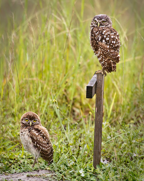 Pair of Burrowing Owls near their burrow