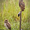 Pair of Burrowing Owls near their burrow