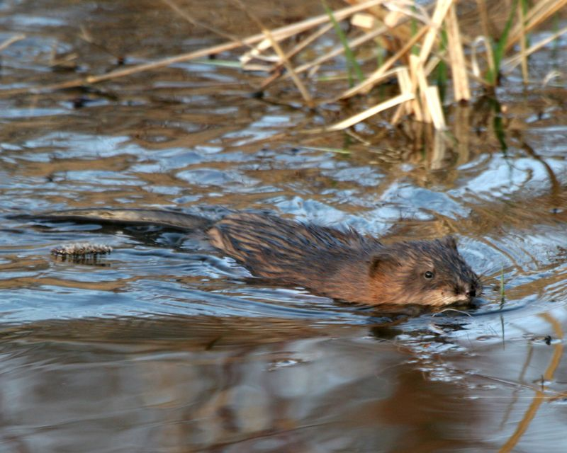Muskrat - Michigan by Paw Prints Nature & Wildlife Photography