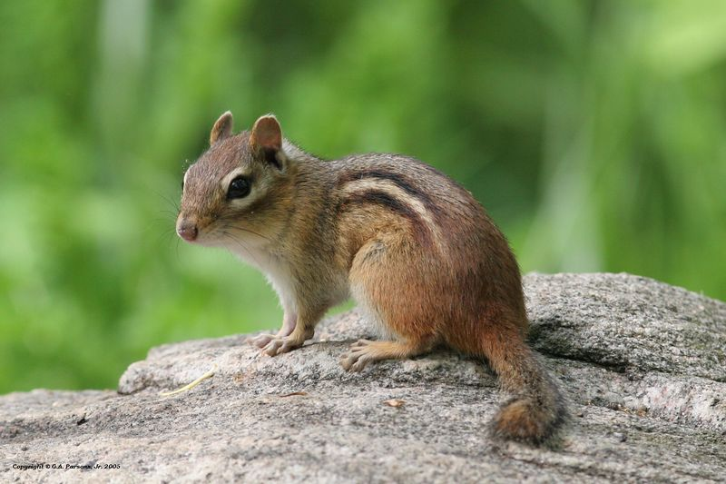 Chipmonk - Michigan by Paw Prints Nature & Wildlife Photography