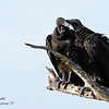 Black Vultures.  Everglades National Park, South Florida.