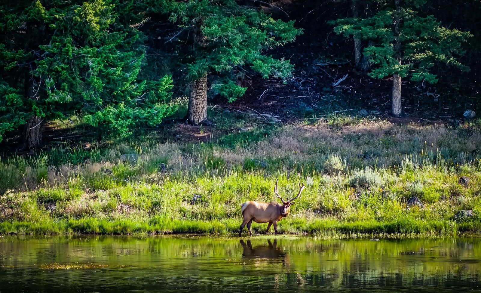 elk by river