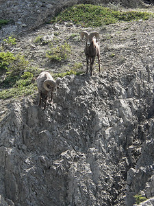 Bighorn Sheep Rams coming down to the lake.  Jasper 2007-06-01  .