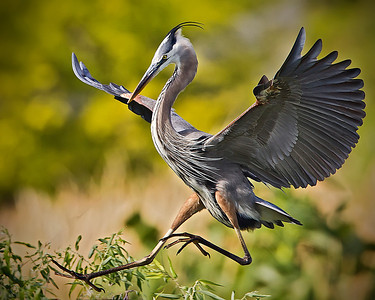 Great Blue Heron Landing