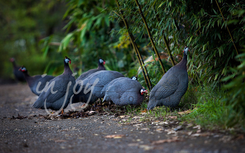 Guinea Hens from Safari Park West, California.