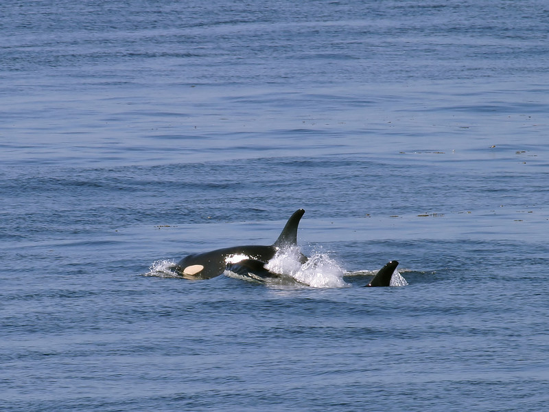 Two orca whales in Puget Sound that have just surfaced to catch a breath of fresh air before diving under the water again.