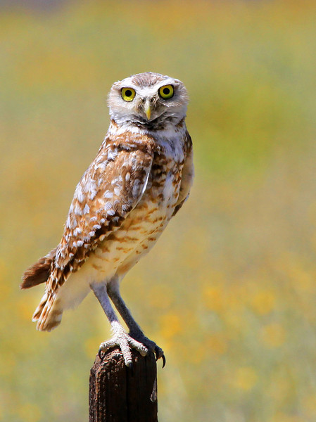 Owl. Taken in Southern San Benito County.