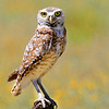 Owl. Taken in Southern San Benito County.