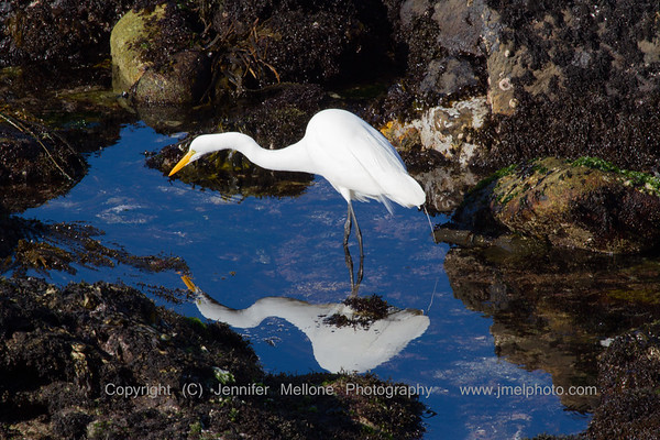 Egret on the Hunt Reflection