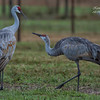 Sandhill Cranes. Gainesville, Florida