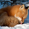 Red Fox grooming.  In northern climates cleaning and grooming includes removing ice from between toes.