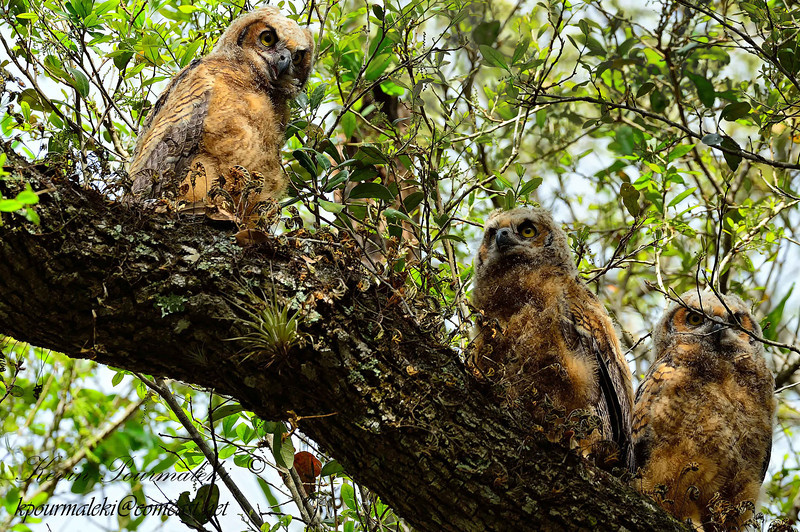 Great Horned Owl Chicks.  South Florida.