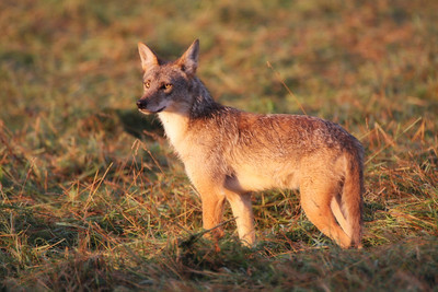 Coyote in the Morning Sun