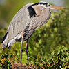 Great Blue Heron guarding nest