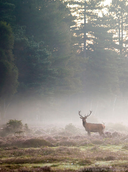New Forest Stag 2