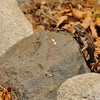 A Western Fence Lizard, with his tongue out, because it just finished eating a bug