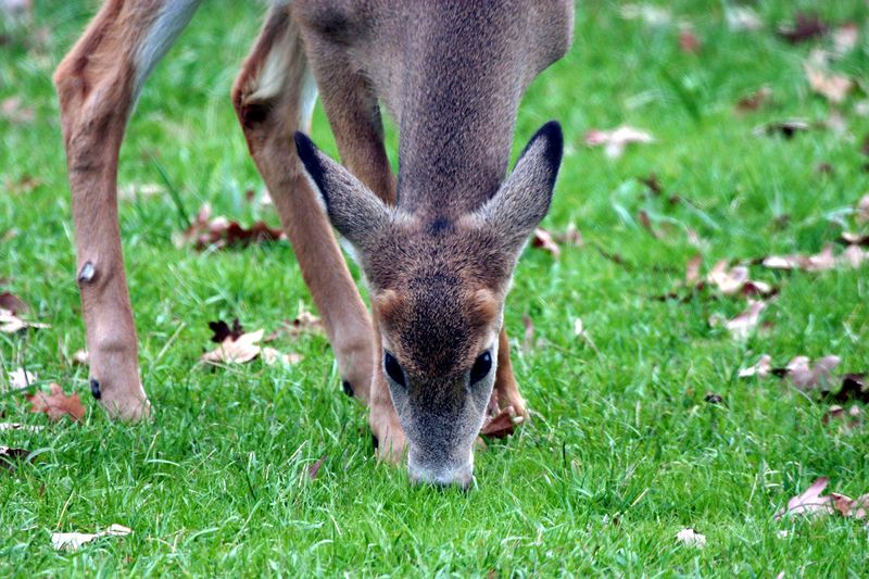 Michigan button buck deer by Paw Prints Nature & Wildlife Photography