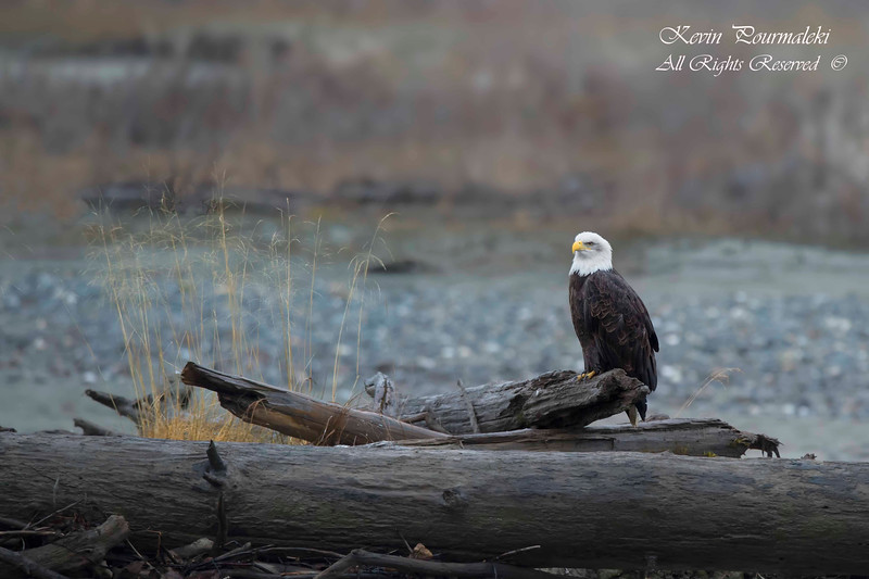Bald Eagle, Haines Alaska.