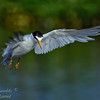 Least Tern. Everglades Park, South Florida