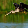 Anhinga.  Everglades Park.  South Florida.