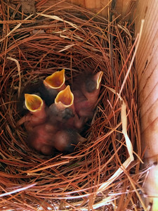 Five, three day old baby bluebirds