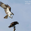 Ospreys.  Everglades National Park, South Florida.