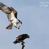 Ospreys.  Everglades National Park, South Florida.