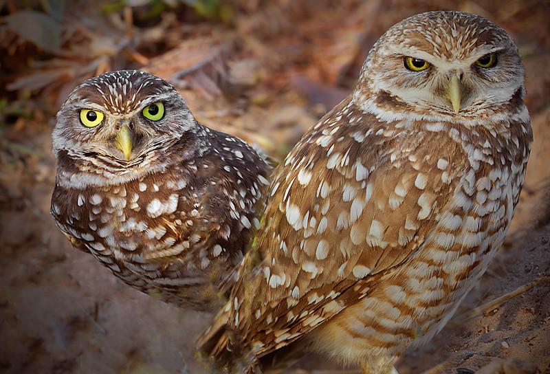Punta Gorda, Florida Burrowing Owl Pair