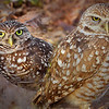 Punta Gorda, Florida Burrowing Owl Pair