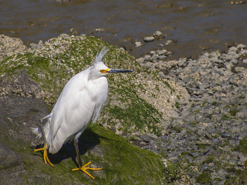 Snowy Egret, San Francisco Bay