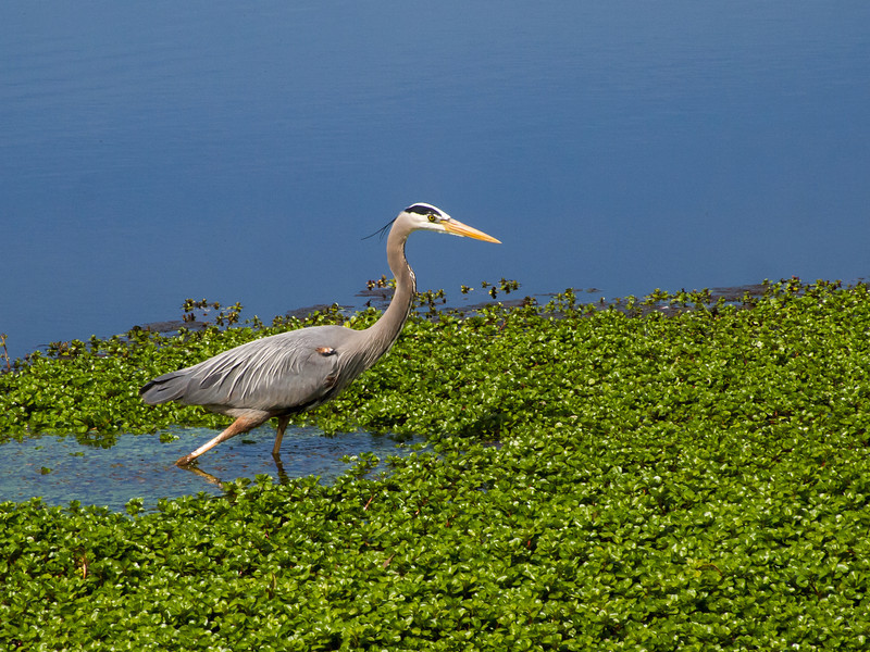 Bue Heron in Pond on Briones Crest Trail