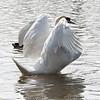 Swan stretch 04