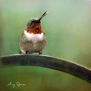 It was actually raining when I captured this image.  It seemed like this hummingbird was waiting for the rain to hit its tongue, similar to what a child might do.