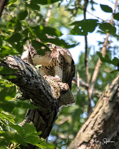 Young Hawk with mouse
