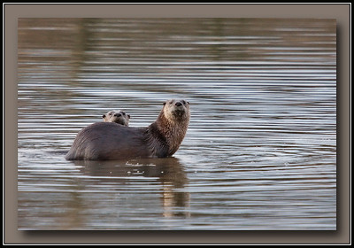 Two of a family of three river otters seen at Surrey Lakes park, Surrey, BC.  2010-01-10  Sony A700 + Sigma 50-500.