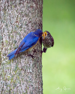 Bluebird feeding one of his babies