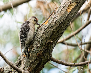 Red-bellied Woodpecker baby/fledgling? I think so.