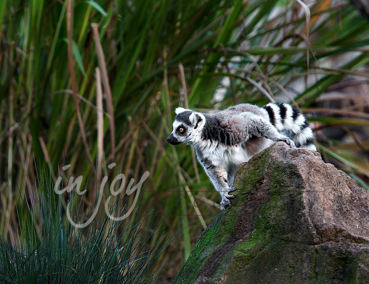 Lemur from Safari Park West, California.