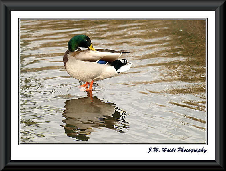 Mallard Duck and reflection on pond in Browns Ferry Park in Tualatin, Oregon