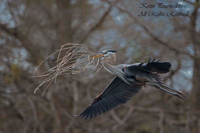 Blue Heron, South Florida.