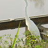 Great Egret, Savannah NWR, SC