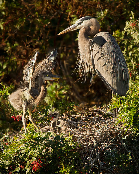 """Look Mom, I Can FLY!!!"", overheard at the Venice Rookery, Venice, FL"