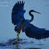 Tri Color Heron.  Everglades Park.  South Florida.