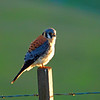 Kestrel taken in San Benito County.