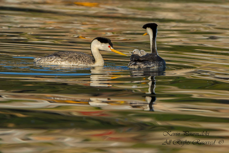 Clark's Grebes,  parents feather feeding the chicks.