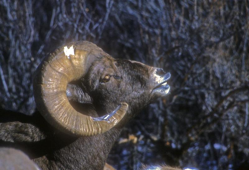 Battle scared bighorn Ram