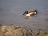Northern Shoveler Duck 2 at Pt. Isabel, Richmond, CA