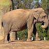 Elephant, San Diego Zoo, San Diego, CA